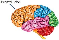 Brainynesss-FrontaL lobe